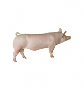ĐỰC THIẾN GGP Y NUÔI THỊT (100kg)