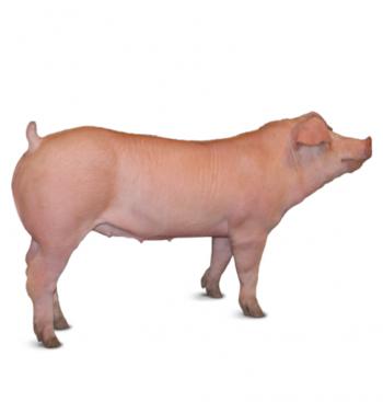 Heo Thịt Ba Máu ( Heo Cái và Heo Đực Thiến ) 100 Kg